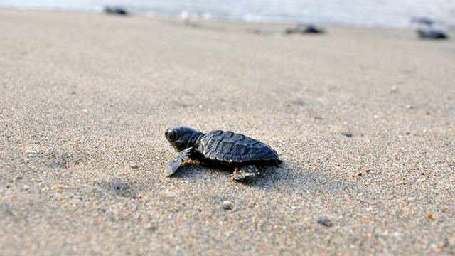 SEASHORE SPECIES. Olive Ridley sea turtles (Lepidochelys olivacea) are some of the species nesting on West Philippine Sea shores. File photo by WWF-Philippines/Gregg Yan