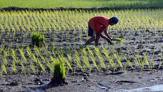 ON TRACK. The government expects to hit its rice production target for 2012. Rappler file photo