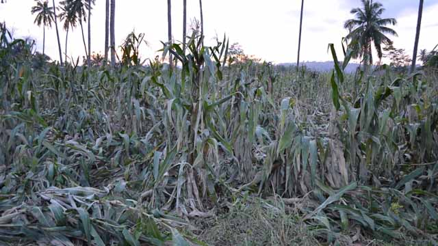 CROP DAMAGE. Officials estimate the biggest damage from the typhoon in this area is to agricultural crops.
