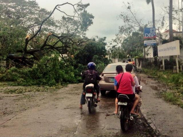 DAMAGE. Century-old acacia trees uprooted in Burgos Avenue, Cabanatuan. File photo by Jeoff Laura