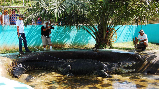 INSIDE HIS PEN. Lolong being measured by a DOST team at the Bunawan Eco-Park and Crocodile Rescue Center in Agusan del Sur. He was declared in May 2012 by Guinness World Records as the world's largest crocodile in captivity at 20.3 feet or 6.14 m. Discovery Channel / Gregg Yan