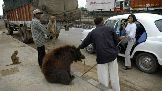 POORLY-TREATED, NO MORE. The tradition of bears being trained to dance in the streets of India have been stopped. Photo from AFP