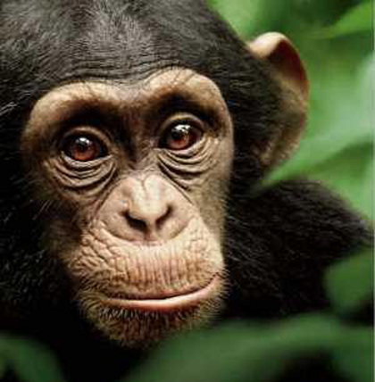 GENTLE CREATURES. A birth of a chimpanzee will be witnessed by the online committee. Photo from the Chimpanzee Facebook page