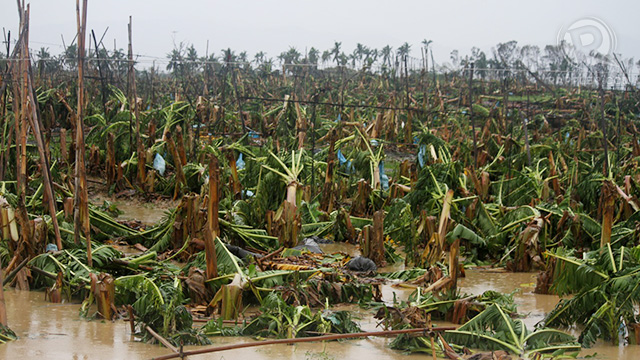 Banana plants felled by typhoon Pablo, December 4, 2012. Photo by Karlos Manlupig.