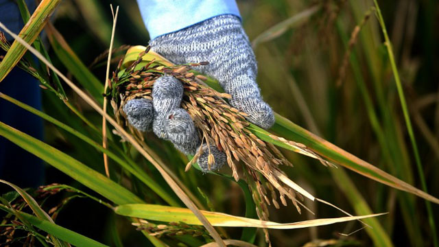 STAPLE. Rice is the Philippines staple. It is the goal of the national government to achieve rice self-sufficiency at the end of 2013. Photo by AFP