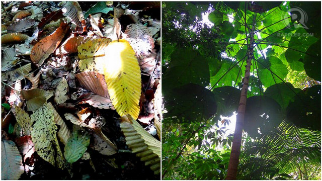 HELPFUL TREES. Lawaans leaves (left) and takip-asin (right) both help control rainfall. All photos by Claire Madarang