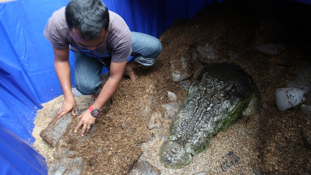 SO LONG, LOLONG. The lifeless body of the monster croc is packed with ice for the necropsy on February 11 in Bunawan, Agusan del Sur. Photo by Jeoffrey Maitem