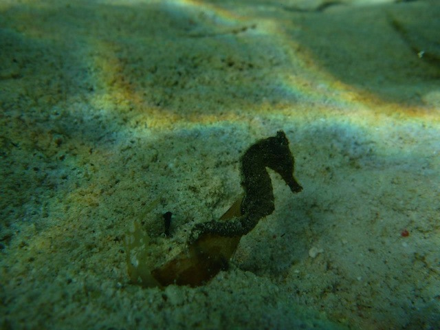 Seahorses are some of the many underwater animals that can be seen when diving in Malapascua. Photo by Charisse Anderson