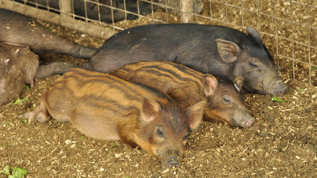LIVIN' THE LIFE. Pigs at Costales Farm sleep in soft beds of sawdust, soil, and rice hull.