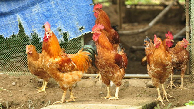 WE NEED SPACE, demand chickens. At certain farms, they're given what they need.