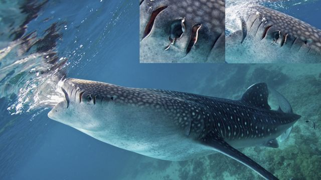 AFTER MONTHS OF ABSENCE in Oslob, whale shark 'Fermin' returned with injuries probably caused by boat propellers. Photo by Steve de Neef