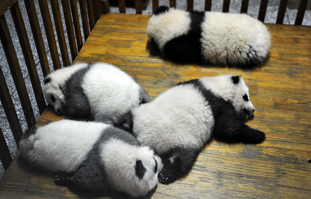 Giant Panda Channel 'giant Panda Channel' Coming