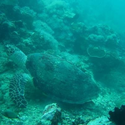 SWIMMING IN PEACE. A Puerto Galera turtle we saw during our dive. Photo courtesy of Jiggy Santillan