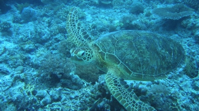 FRIENDLY TURTLE. The author swam with this sea turtle along the reef