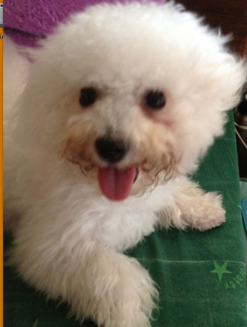 DOGGIE GOT MY HEART. Vodka the Bichon Frise is always smiling. Photo from Kathy Moran