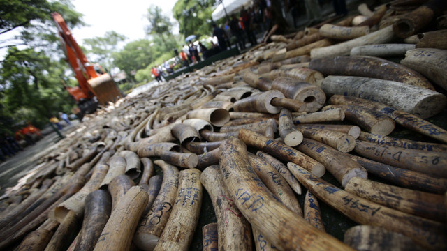 992cf4525781 CRUSHING CRIME. A road roller destroys elephant tusks that have been seized  from illegal shipments