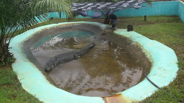 How captivity killed lolong for Saltwater fish pond