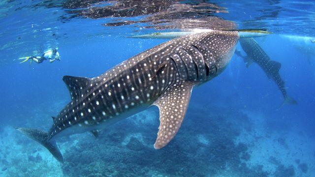 oslob s shark tales